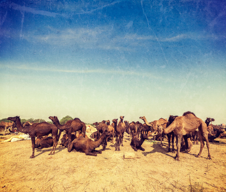 fairs: Vintage retro hipster style travel image of camels at Pushkar Mela (Pushkar Camel Fair). Pushkar, Rajasthan, India  with grunge texture overlaid Stock Photo