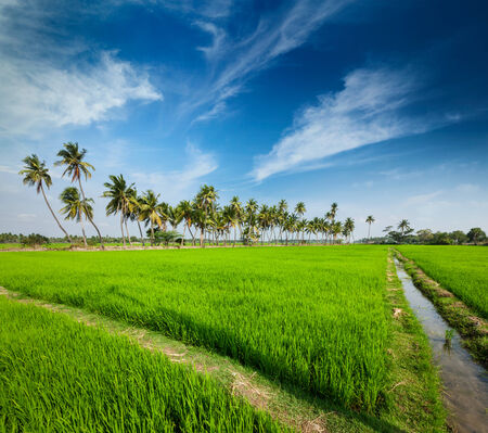paddy fields: Rural Indian scene - rice paddy field and palms. Tamil Nadu, India Stock Photo