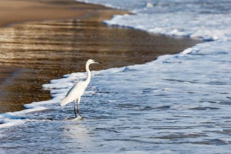 Little Egret (Egretta garzetta) - small white heron on beach, India photo