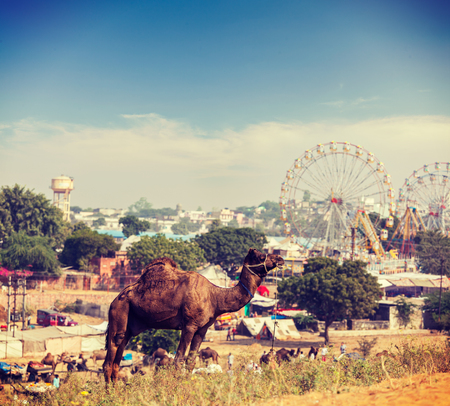 fairs: Vintage retro hipster style travel image of camels at Pushkar Mela (Pushkar Camel Fair). Pushkar, Rajasthan, India