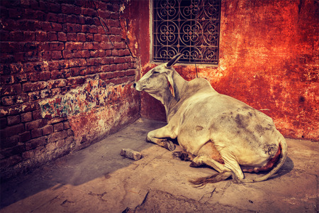 india cow: Vintage retro hipster style travel image of indian cow in the street of India - cow is considered a sacred animal in India
