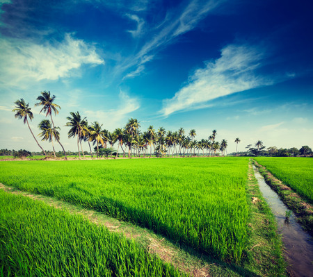 agriculture india: Vintage retro hipster style travel image of rural Indian scene - rice paddy field and palms. Tamil Nadu, India
