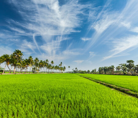 agriculture india: Rural Indian scene - rice paddy field and palms. Tamil Nadu, India Stock Photo