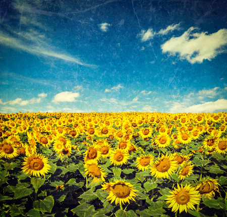 Vintage retro hipster style image of idyllic scenic landscape - sunflower field and blue sky with grunge texture overlaid photo