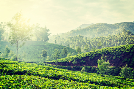 tea plantation: Vintage retro hipster style travel image of Kerala India travel background - green tea plantations in Munnar, Kerala, India in the morning on sunrise