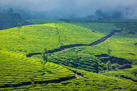 agriculture india: Kerala India travel background - green tea plantations in Munnar, Kerala, India - tourist attraction