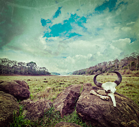periyar: Vintage retro hipster style travel image of gaur (Indian bison) skull with horns and bones in Periyar wildlife sanctuary, Kumily, Kerala, India with grunge texture overlaid