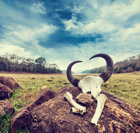 periyar: Vintage retro hipster style travel image of gaur (Indian bison) skull with horns and bones in Periyar wildlife sanctuary, Kumily, Kerala, India