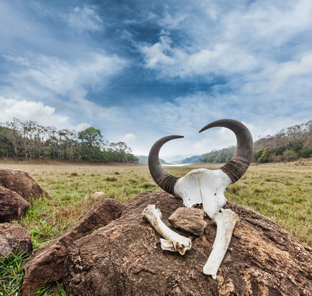 periyar: Gaur (Indian bison) skull with horns and bones in Periyar wildlife sanctuary, Kumily, Kerala, India