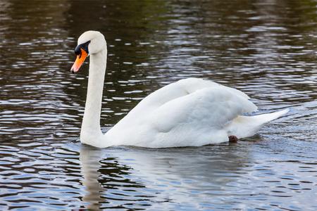 cygnus olor: Mute Swan (Cygnus olor) in lake, Munich, Germany