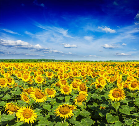 sunflower field: Sunflower field and blue sky Stock Photo