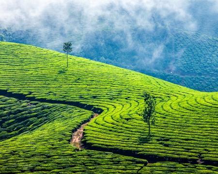 Grüner Tee-Plantagen in Munnar, Kerala, Indien