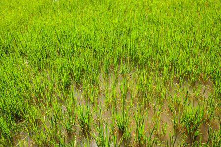 Rice paddy field close up photo