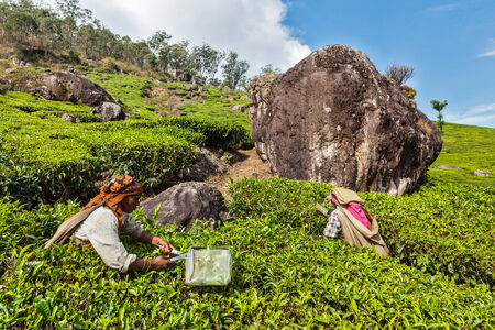 munnar: KERALA, INDIA - FEBRUARY 18, 2014: Unidentified Indian women harvest tea leaves at tea plantation at Munnar. Only the uppermost leaves are collected, and workers collect daily up to 30 kilos of tea leaves