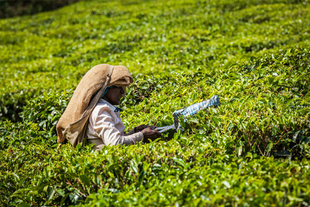 kilos: KERALA, INDIA - FEBRUARY 18, 2014: Unidentified Indian woman harvests tea leaves at tea plantation at Munnar. Only the uppermost leaves are collected, and workers collect daily up to 30 kilos of tea leaves Editorial