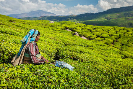 south india: KERALA, INDIA - FEBRUARY 18, 2014: Unidentified Indian woman harvests tea leaves at tea plantation at Munnar. Only the uppermost leaves are collected, and workers collect daily up to 30 kilos of tea leaves Editorial