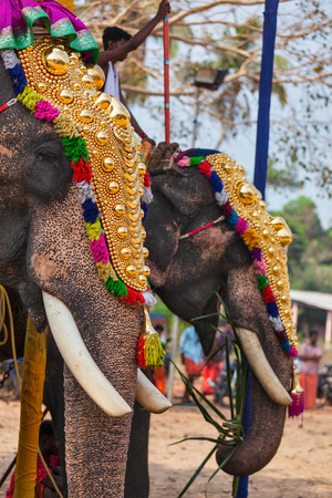 kochi: KOCHI, INDIA - FEBRUARY 24, 2013: Decorated elephants with brahmins (priests) in Hindu temple at temple festival. There about 550 domesticated elephants in Kerala state.