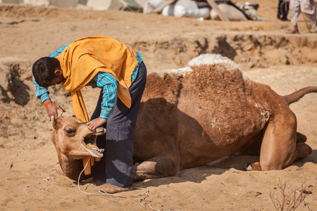 fairs: PUSHKAR, INDIA - NOVEMBER 20, 2012: Man cutting hair of camels at Pushkar camel fair (Pushkar Mela) -  annual five-day camel and livestock fair, one of the worlds largest camel fairs and tourist attraction