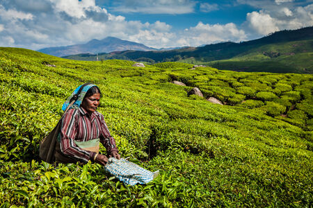 munnar: KERALA, INDIA - FEBRUARY 18, 2014: Unidentified Indian woman harvests tea leaves at tea plantation at Munnar. Only the uppermost leaves are collected, and workers collect daily up to 30 kilos of tea leaves Editorial