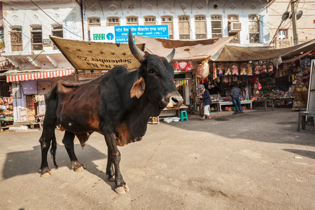 india cow: PUSHKAR, INDIA - NOVEMBER 20, 2012: Indian buffalo cow in the street of India. Cow is considered a sacred animal in India and can wander freely around streets Editorial