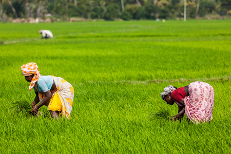 tamil nadu: TAMIL NADU, INDIA - FEBRUARY 13, 2014: Unidentified Indian women harvests rice in the paddy field. Rice is the most widely consumed staple food for a large part of the worlds human population Editorial