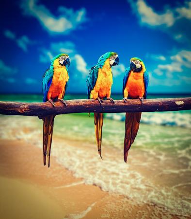 loro: Imagen filtrada efecto estilo retro del inconformista de la vendimia de concepto de vacaciones tropical - tres loros azul y amarillo Guacamayo Ara ararauna tambi�n conocido como el azul y oro guacamayo en la hermosa playa y el mar tropical