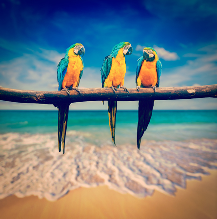 blue parrot: Vintage retro effect filtered hipster style image of tropical vacation concept three parrots Blue-and-Yellow Macaw Ara ararauna also known as the Blue-and-Gold Macaw on tropical beautiful beach and  sea