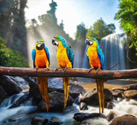 waterfall with sky: Blue-and-Yellow Macaw Ara ararauna