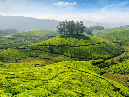 cropland: Indian tea concept background - tea plantations. Munnar, Kerala, India