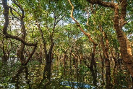 forest: Flooded trees in mangrove rain forest