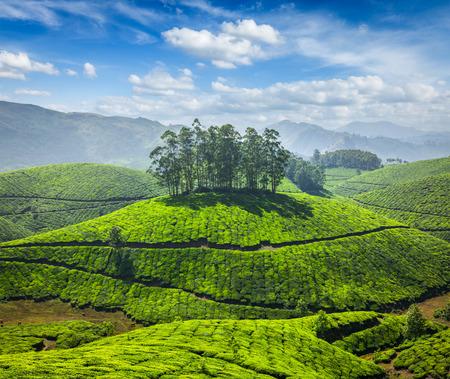 agriculture india: Tea plantations Stock Photo