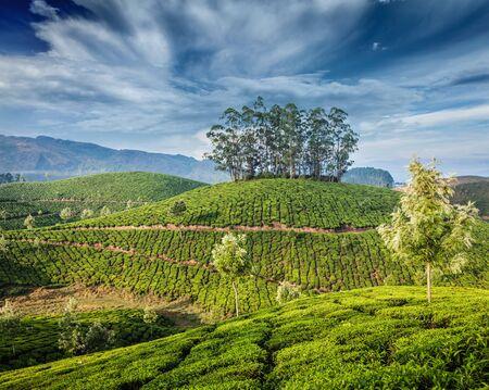 kerala: Green tea plantations in Munnar, Kerala, India