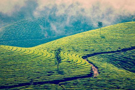 Plantations de thé vert à Munnar, Kerala, Inde Banque d'images