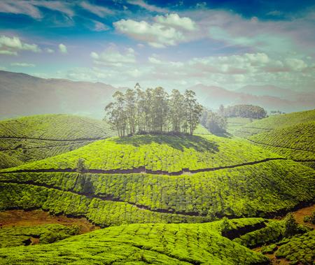 tea plantations: Tea plantations Stock Photo