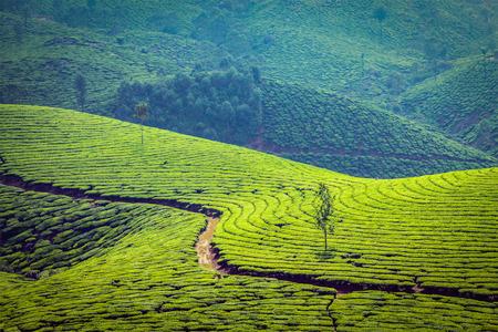 munnar: Green tea plantations in Munnar, Kerala, India