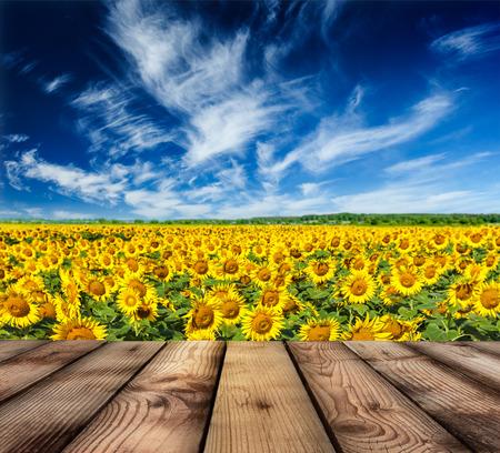 girasol: Suelo de madera con campo de girasol y el cielo azul en el fondo