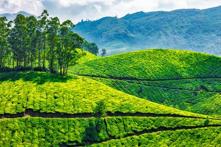 tea plant: Green tea plantations in Munnar, Kerala, India