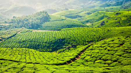 tea plantations: Kerala India travel background - panorama of green tea plantations in Munnar, Kerala, India - tourist attraction
