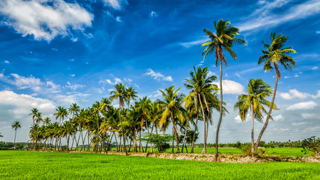 rural india: Panorama of rural Indian scene - rice paddy field and palms. Tamil Nadu, India