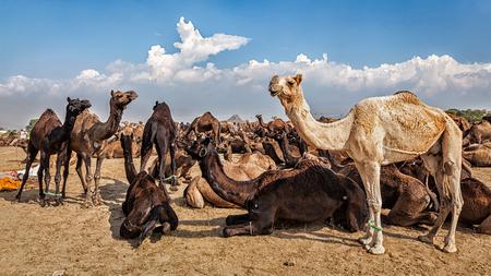 camello: Imagen panorámica de camellos en Pushkar Mela (Feria de Pushkar Camel). Pushkar, Rajasthan, India