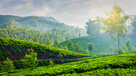 munnar: Kerala India travel background - panorama of green tea plantations in Munnar, Kerala, India in the morning on sunrise Stock Photo