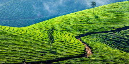 Kerala India travel background - panorama of green tea plantations in Munnar, Kerala, India - tourist attraction