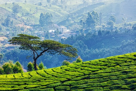 tea plantations: Tree in tea plantations, Munnar, Kerala state, India Stock Photo