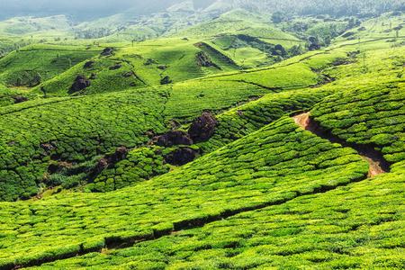 tea plantations: Green tea plantations in hills in Munnar, Kerala, India