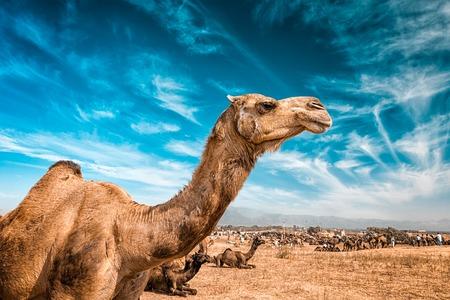 camello: Camello en Pushkar Mela - famoso camello y el ganado feria anual, celebrada en la ciudad de Pushkar, Rajasthan, India Foto de archivo