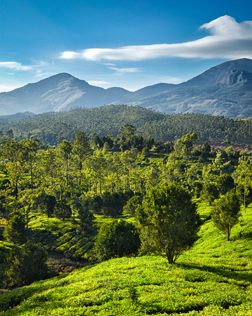 tea plantations: Green tea plantations on sunrise in Munnar, Kerala, India