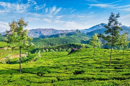 tea plantations: Green tea plantations in the morning, Munnar, Kerala state, India