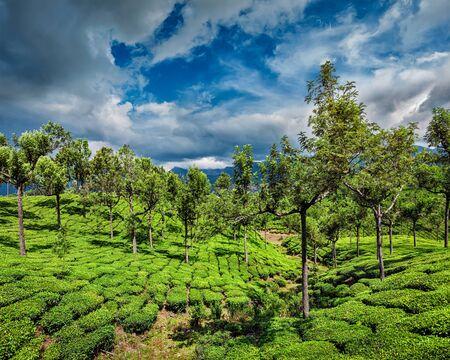 tea plantations: Green tea plantations in hills with dramatic sky. Munnar, Kerala, India Stock Photo