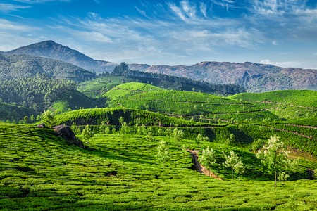 tranquil: Green tea plantations in the morning, Munnar, Kerala state, India