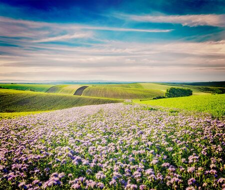 fields of flowers: Vintage retro effect filtered hipster style image of Rolling fields of Moravia, Czech Republic with purple flowers